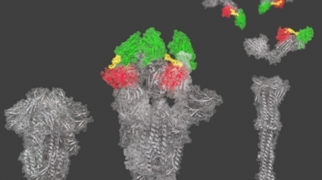 Cryo-EM reconstruction of nanobodies that bind to two different places on the spike protein of SARS-CoV-2.